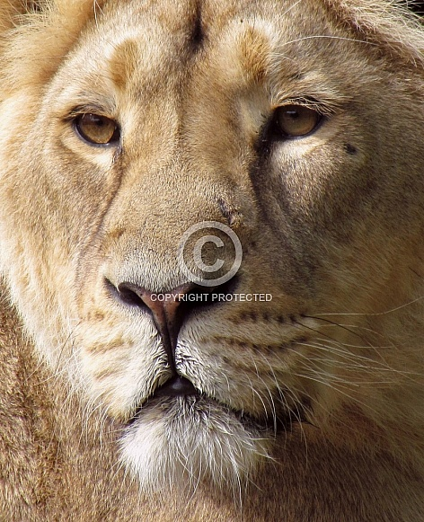 Lioness close-up portrait