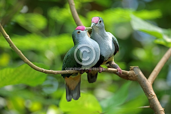 Beautiful fruit doves (Ptilinopus pulchellus)