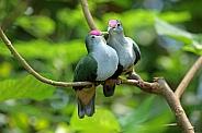 Beautiful fruit doves (Ptilinopus pulchellus)
