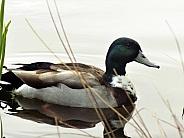 Male mallard duck on the water
