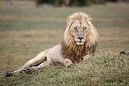 African Lion (wild)
