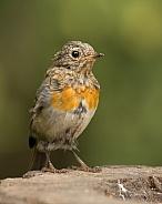 Juvenile European Robin