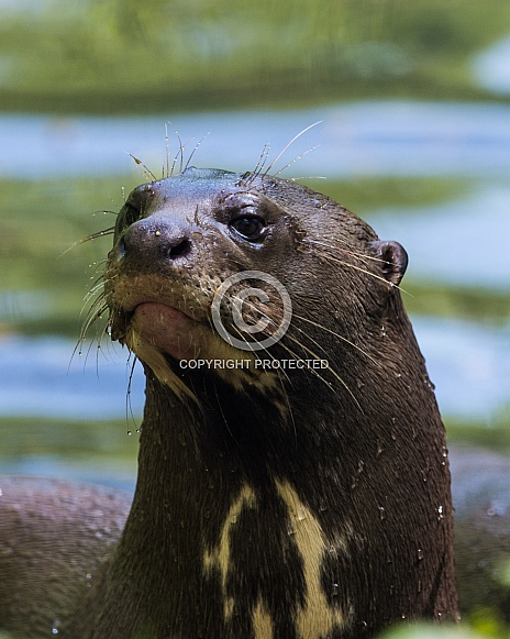 Amazon River Otter