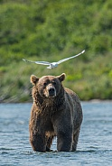 Wild Alaskan Brown Bear fishing