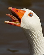 Angry Domestic Goose