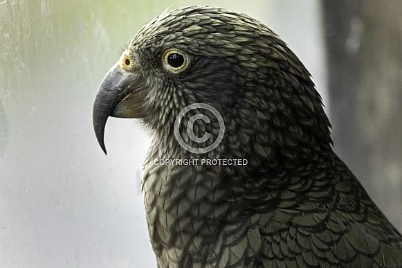 Kea Side Profile Close Up