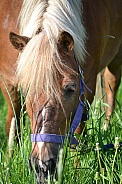 Pony grazing