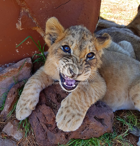Hissing Lion Cub