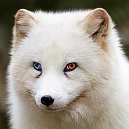 Odd-eyed polar fox