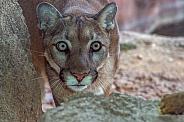 Mountain Lion Stalking