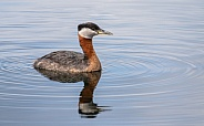 Male Red-necked Grebe