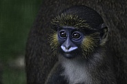 Baby Moustached Guenon Monkey