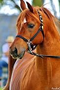 Arabian Stallion in Halter