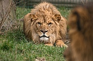 Young Male African Lion Ready To Pounce
