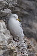 The black-legged kittiwake