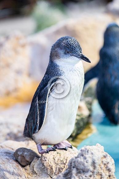 Fairy Penguin 1