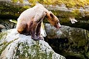Wild grizzly cub in Alaska
