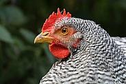 Dutch blue chicken
