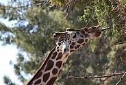 Reticulated Giraffe Eating