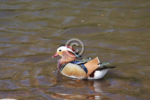 Colourful Mandarin Duck Swimming