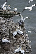 Gannet colony - Bempton Cliffs - England