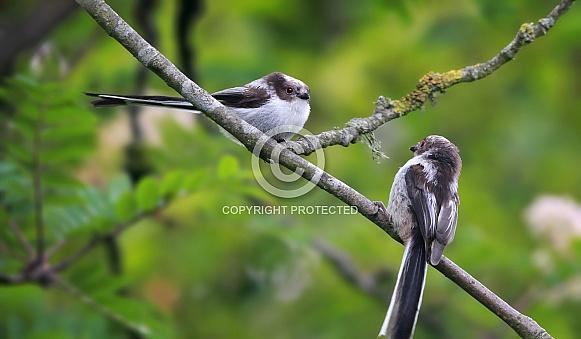 Juvenile Long tailed tits