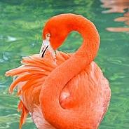 Great flamingo