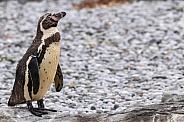 Humboldt Penguin Full Body