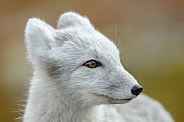 Portrait Arctic fox