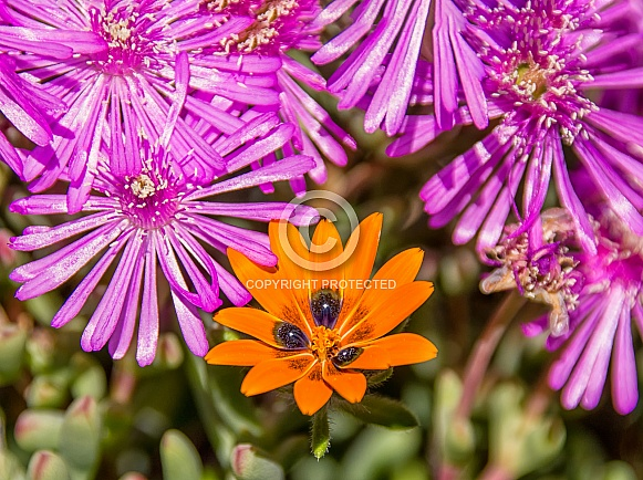Gorteria diffusa wildflower