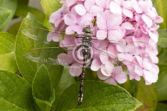 Australian emperor dragonfly.