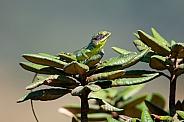 Black-cheeked Lizard