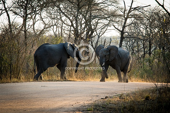 African Elephants in a stand-off