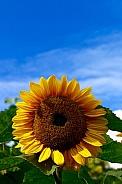 Sunflower in the sunshine