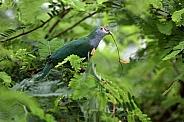 Beautiful fruit dove (Ptilinopus pulchellus)
