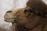 Camel (Camelus ferus bactrianus)