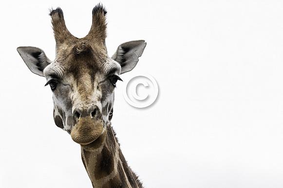 Rothschild's Giraffe Close Up White Background