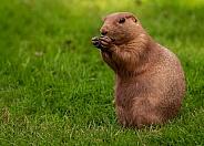 Prairie Marmot