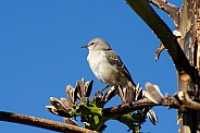 Northern Mockingbird in Agave Branches