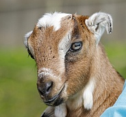 Portrait on a farm of a goat baby