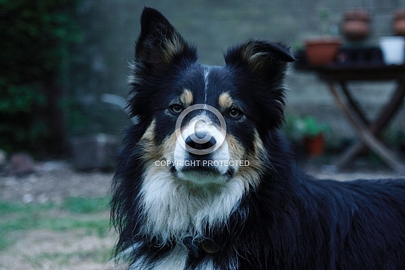 Tri-color border collie