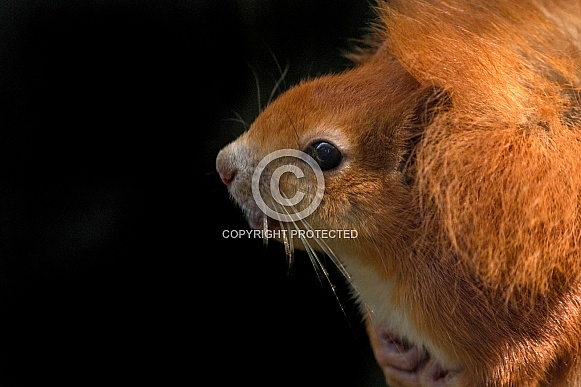 Red Squirrel Close Up Face Shot