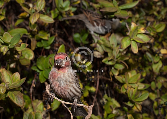 Haemorhous mexicanus, house finch