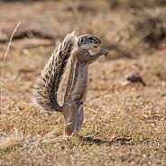 African Ground Squirrel Feeding