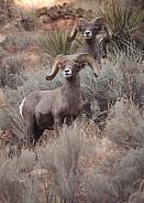 Desert big horned rams Ovis canadensis nelsoni