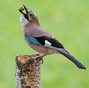 A Jay with an Acorn