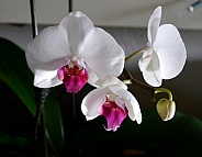 Phalaenopsis Orchid / Moth Orchid