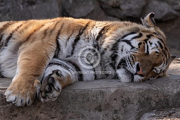 Amur Tiger Lying Down Asleep