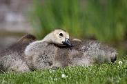 Canada geese, gosling