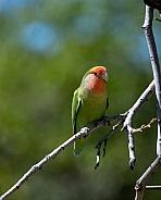 Peach faced love bird on a branch